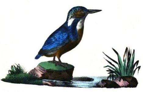 L'alcyon, ou martin-pêcheur selon Buffon