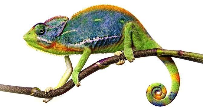 Caméléon (Chamaeleo chamaeleon recticrista)